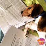 Cookie - Beagle