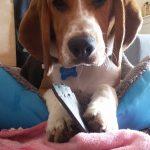 Skarfi - Beagle