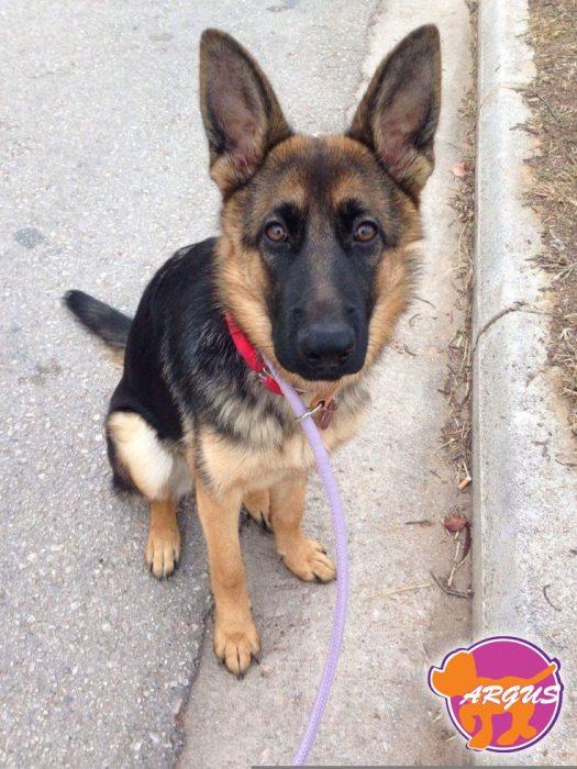 Selma - German Shepherd