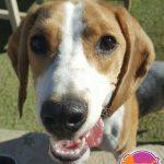 Stella - Beagle