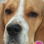 Dennis - Beagle