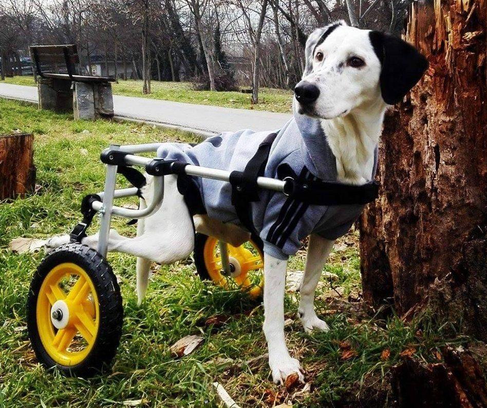 Ενα από τα αμέτρητα σκυλιά που κατάφεραν να περπατήσουν με τη βοήθεια των αμαξιδίων του Βασίλη Τζιγκούρα