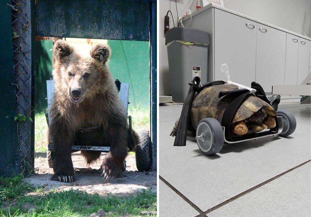 Ο αρκούδος του Αρκτούρου και η χελώνα Χέλι. Δύο ζώα μαζί με τα αμαξίδιά τους