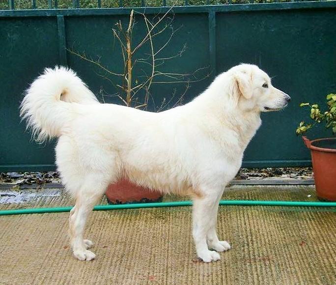 Λευκό Ελληνικό Τσοπανόσκυλο