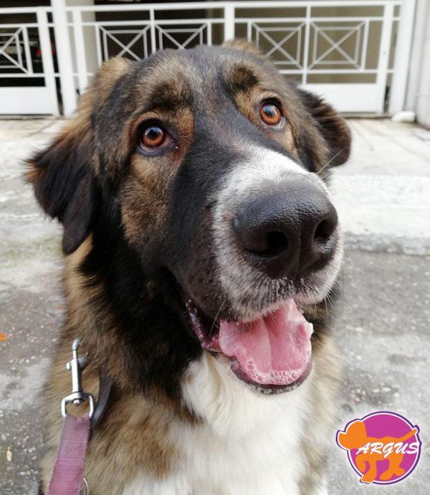 Soko - Caucasian Shepherd Dog