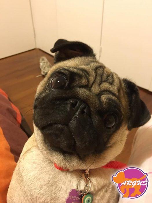 Chloe - Pug