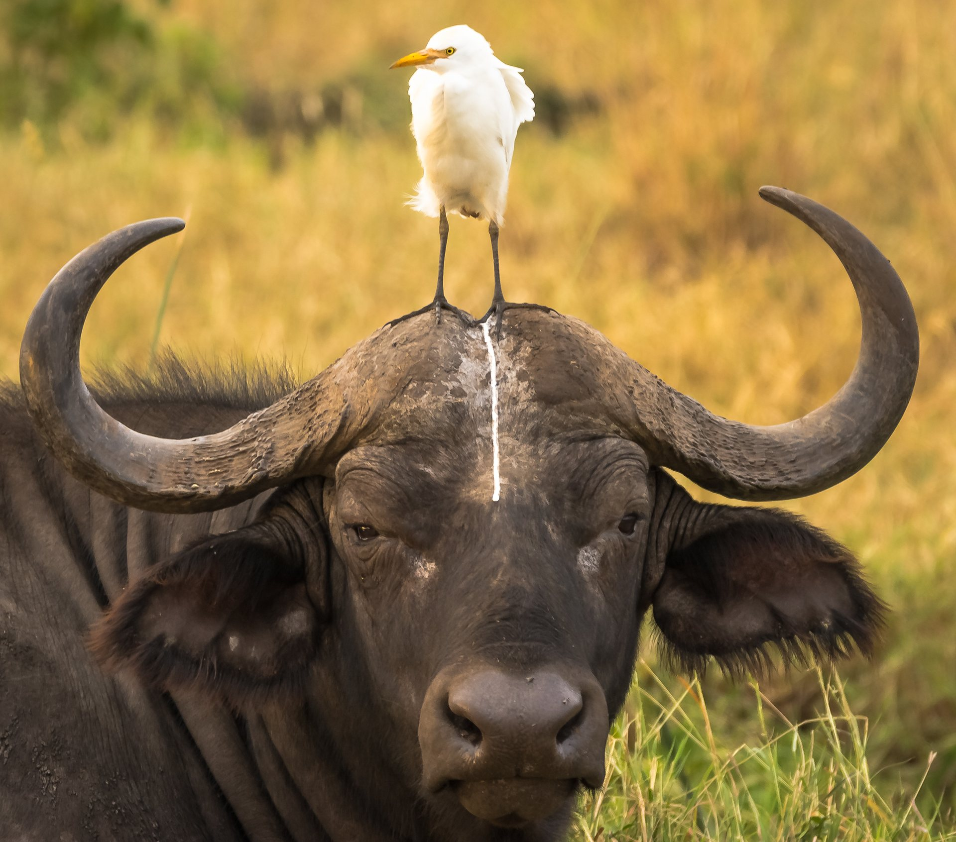 Tο ατυχές πορτρέτο ενός αφρικανικού βούβαλου, Κένυα. Φωτογραφία: Tom Stables/The Comedy Wildlife Photography Awards.