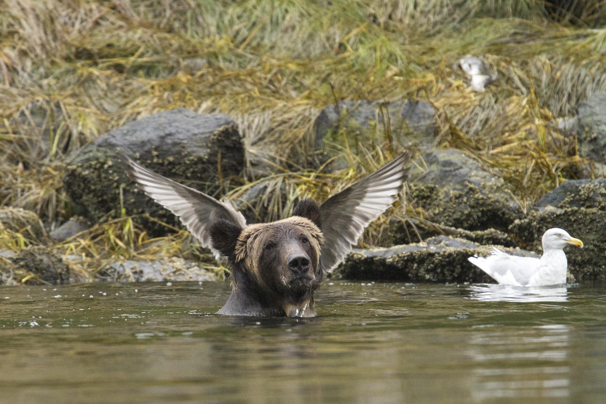 Mια αρσενική αρκούδα απέκτησε φτερά χάρη στον Adam Parsons που την απαθανάτισε την κατάλληλη στιγμή στο δάσος του Καναδά. Φωτογραφία: The Comedy Wildlife Photography Awards.