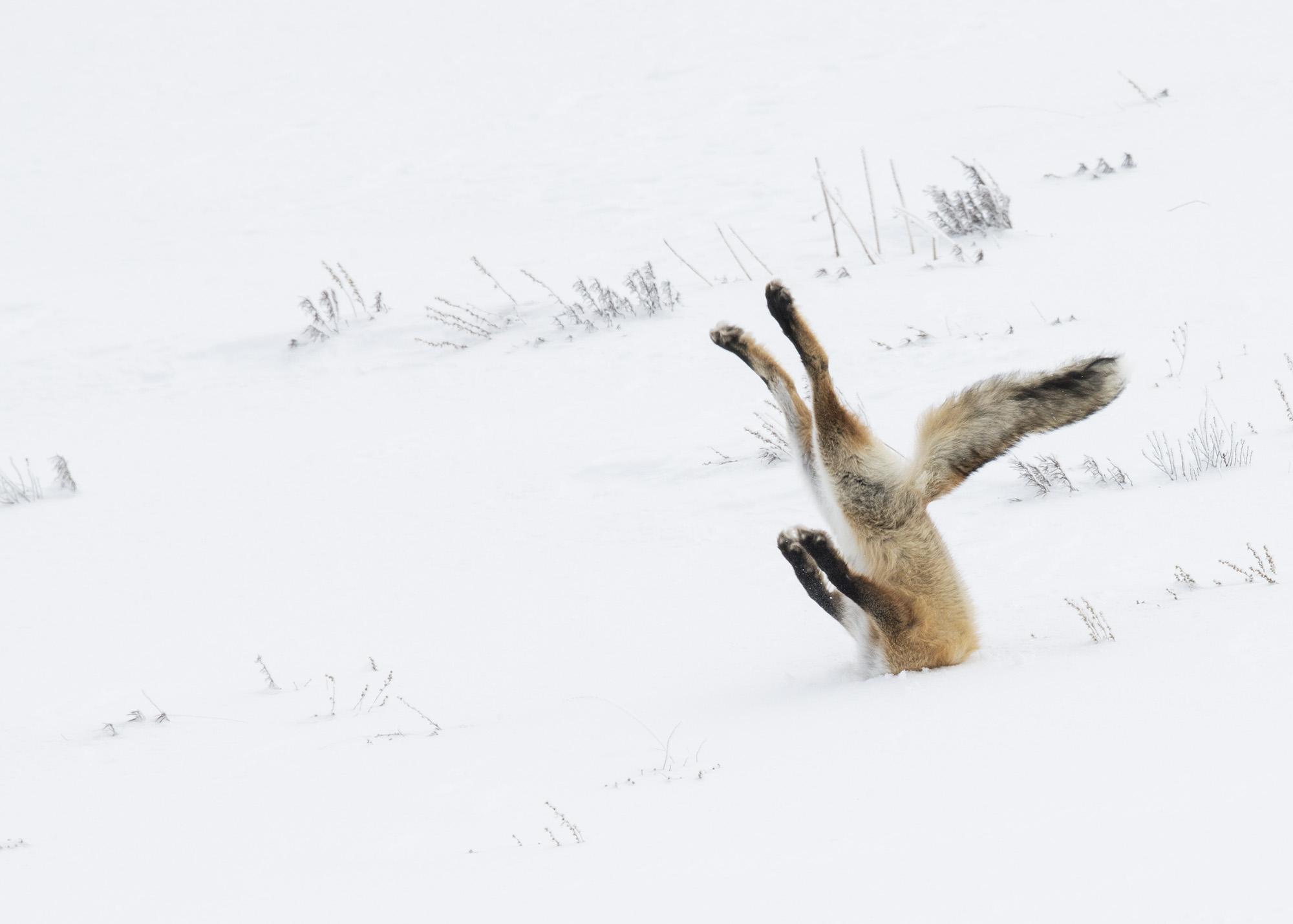 Ο μεγάλος νικητής: Η βουτιά της αλεπούς στο χιόνι στο Εθνικό Πάρκο Γιέλοουστοουν. Φωτογραφία: Angela Bohlke//The Comedy Wildlife Photography Awards.
