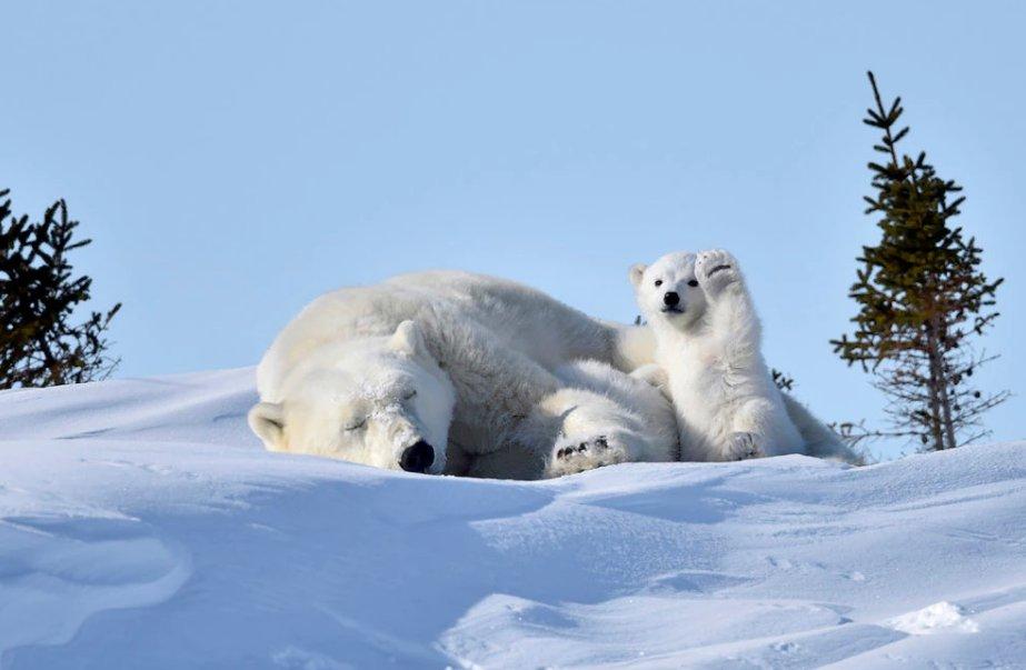 Ενώ η μαμά κοιμάται... Φωτογραφία: Philip Marazzi /The Comedy Wildlife Photography Awards.