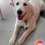 Lucy - Golden Retriever