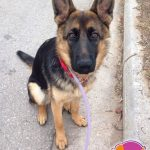 Selma - German Shepherd