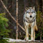 Λύκοι στην Πάρνηθα, η μεγάλη επιστροφή