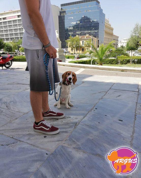 Kobe - Beagle