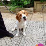 Pablo - Beagle
