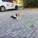 Max - Beagle