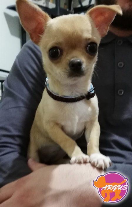 Chihuahua - Mini