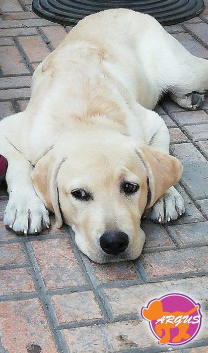 Grace - Labrador