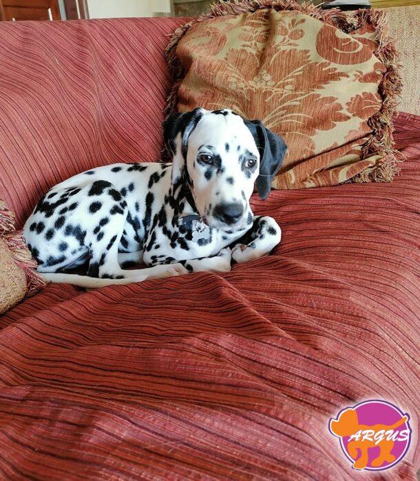 Άρια - Σκύλος Δαλματίας
