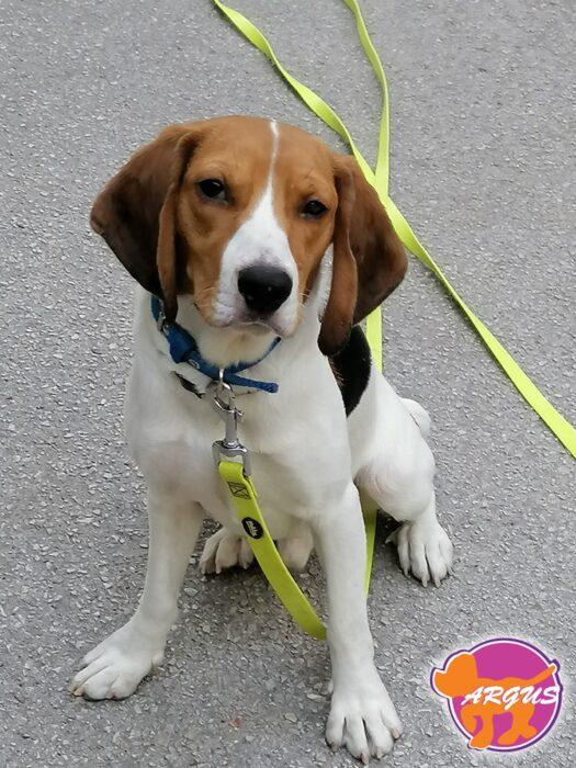 Luco - Beagle
