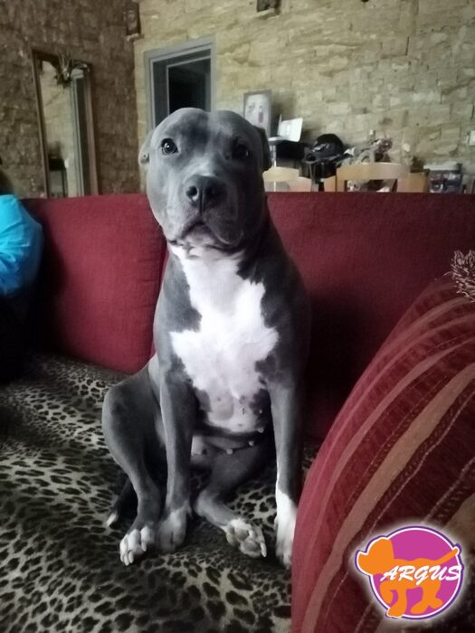 Romi - American Staffordshire Terrier