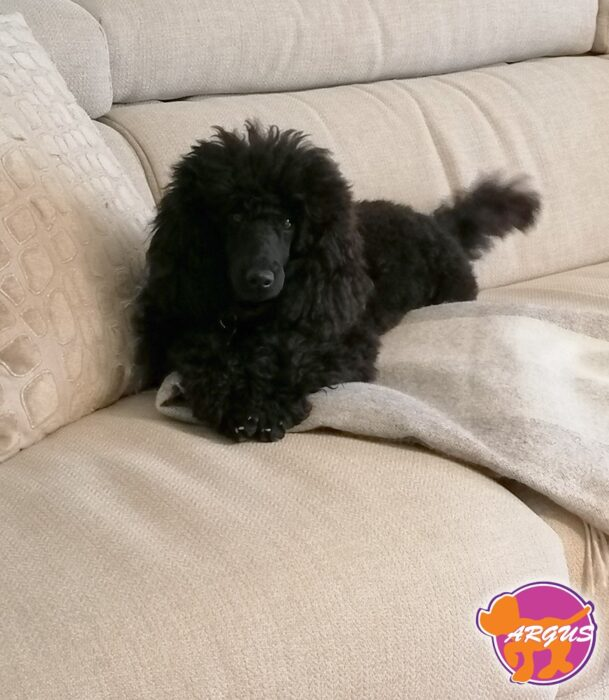 Poodle (Caniche) - Perry
