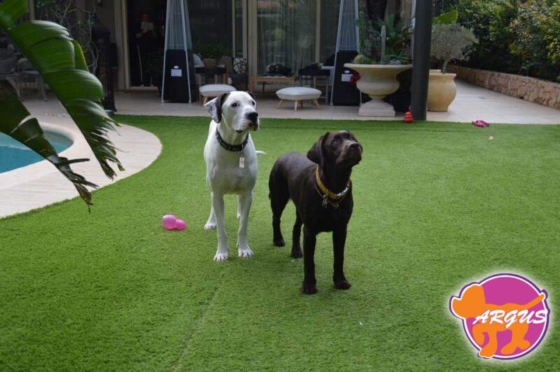 Dogo Argentino + Labrador