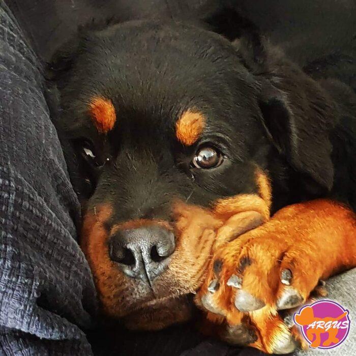 Rottweiler - Magnus