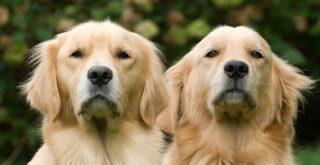 Μελέτη για την ηλίκια των σκύλων